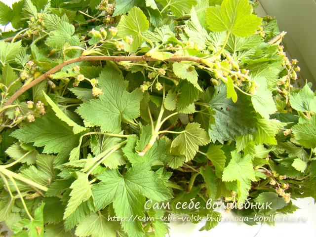 Вессений марафон: заготавливаем листья смородины для нашего фито чая на зиму/1783336_1_1_ (640x480, 441Kb)