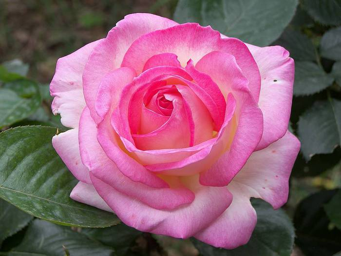tea-rose-hybrid-pink-flower (700x525, 43Kb)