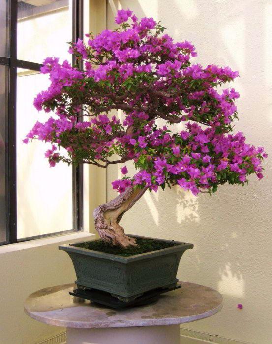 деревья бонсай фото 1 (553x700, 333Kb)