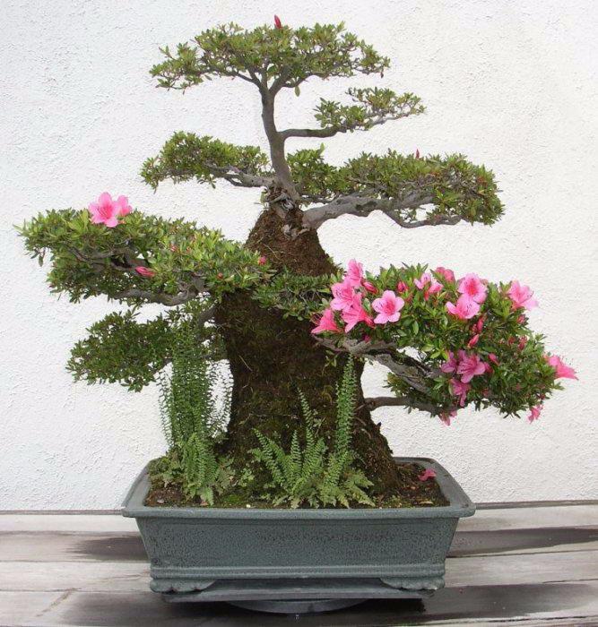 деревья бонсай фото 6 (667x700, 392Kb)