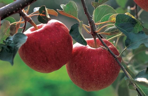 яблоки 2 (632x411, 228Kb)