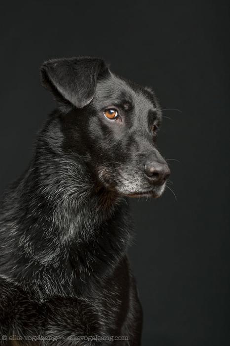 5462122_1__dogsquestioningthephotographerssanity2__605 (466x700, 154Kb)