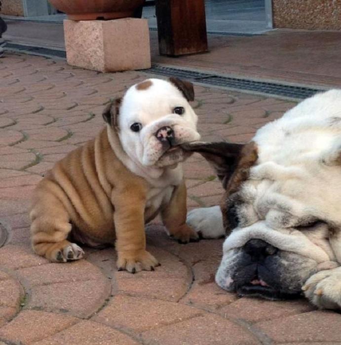 5462122_adorabledogs3 (691x700, 137Kb)
