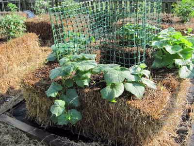 Выращивание томатов в мешках в открытом грунте 66