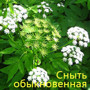 snyit-obyiknovennaya (300x300, 41Kb)