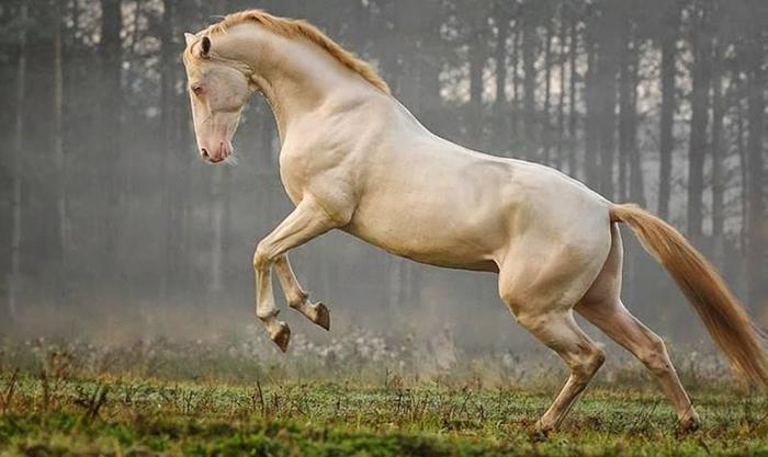 ахалтекинская лошадь (700x417, 235Kb)