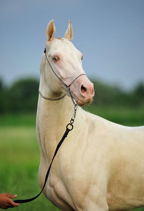 ахалтекинская лошадь2 (478x700, 251Kb)