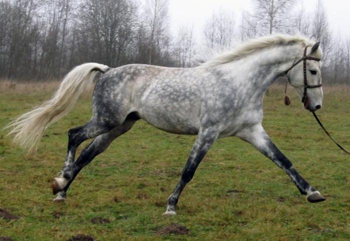 орловский рысак2 (700x482, 313Kb)