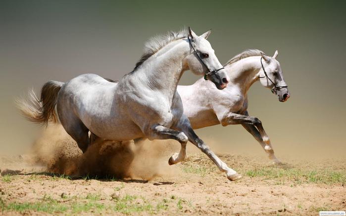 арабская лошадь3 (700x437, 282Kb)
