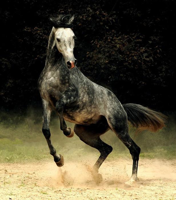 арабская лошадь7 (616x700, 422Kb)