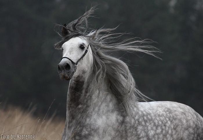 андалузская лошадь (700x481, 231Kb)