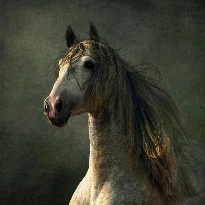 андалузская лошадь3 (699x700, 478Kb)