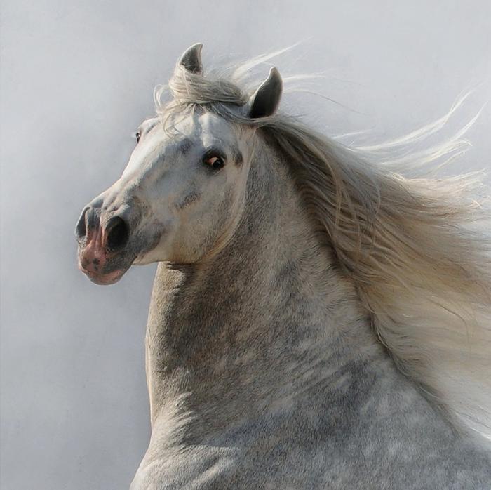 андалузская лошадь5 (700x698, 429Kb)