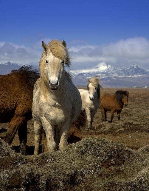 исландская лошадь2 (500x640, 262Kb)