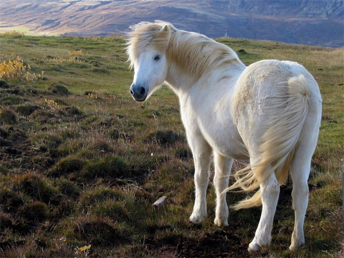 исландская лошадь3 (700x525, 429Kb)