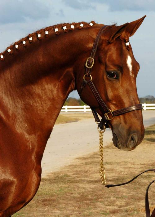 тракерская порода лошадей (500x700, 301Kb)