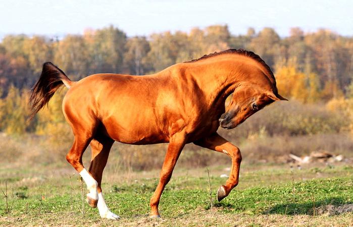 донская лошадь (700x450, 397Kb)