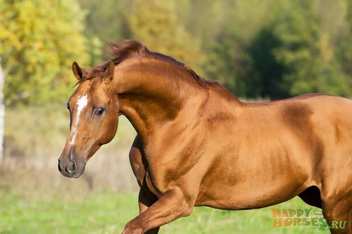 донская порода лошадей2 (700x464, 308Kb)
