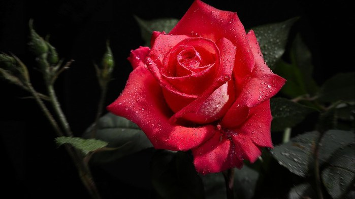 flowers-photos-roses (700x393, 45Kb)