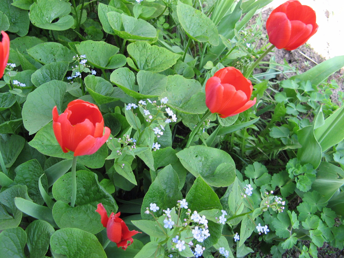 Тюльпаны (700x525, 535Kb)