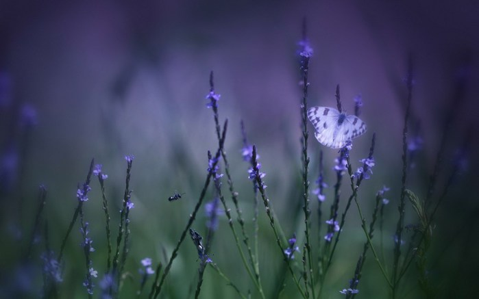butterfly-insect-purple-flowers-nature-1920x1200 (700x437, 35Kb)