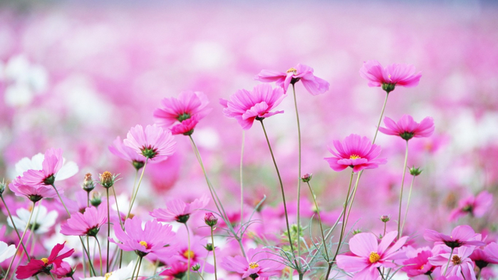5645021394ad4_flowers-wallpaper-1366x768 (700x393, 289Kb)