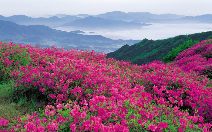 Nature___Flowers_Violent_flowering_of_pink_flowers_in_the_mountains_100678_ (700x437, 534Kb)