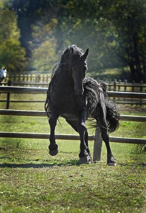 Роскошная грива самого красивого коня в мире (фото   Фредерик Великий)