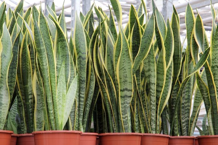 20pcs-bag-Sansevieria-seeds-potted-balcony-planting-seasons-sprouting-95-Sansevieria-trifasciata-Golden-Hahnii (1) (700x466, 448Kb)