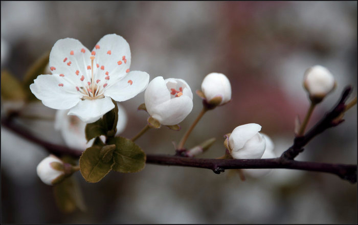 Май - Катя впервые в жизни в 35 лет увидела цветение вишни в Москве (700x440, 164Kb)