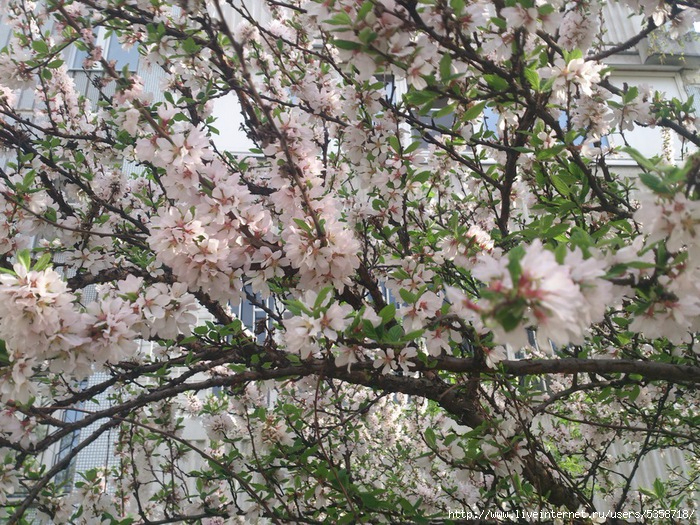 Май - вишня цветущая у дома Лены в Москве (700x525, 571Kb)
