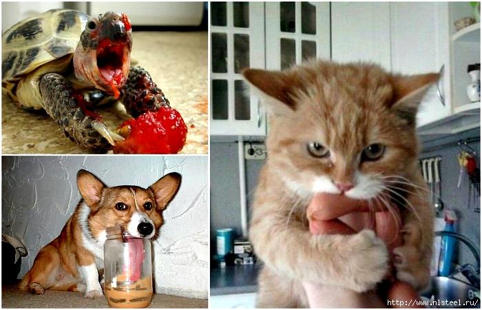 Смешные фотографии животных, которые очень сильно проголодались!/3925073_0funnyandhungry (700x450, 275Kb)