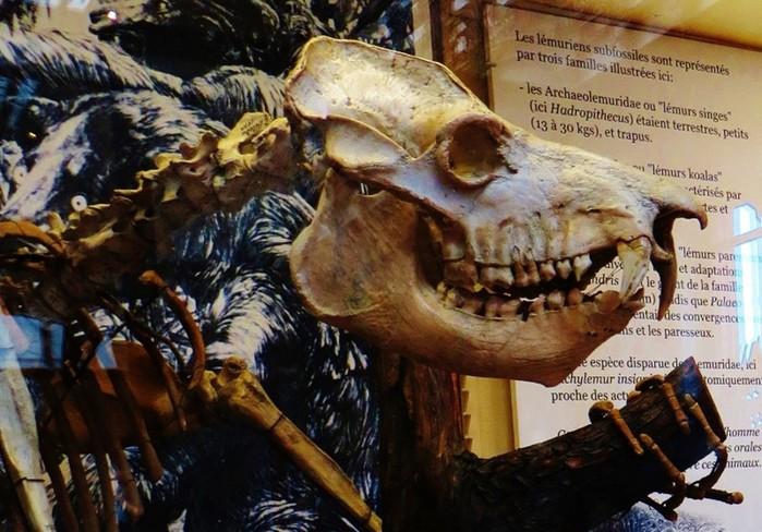 Мегаладапис Эдвардса   огромный древний лемур