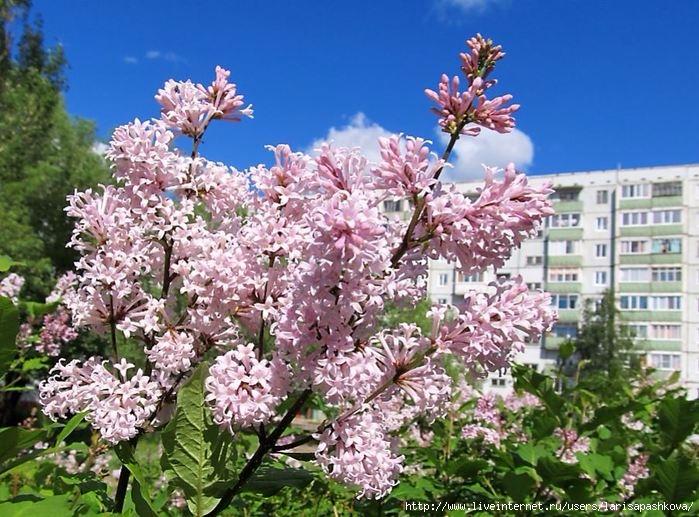 Деревья  Сирень цветет в Шарыпово (699x517, 409Kb)