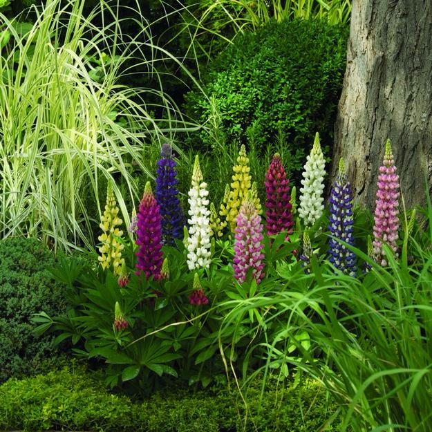 lupines-flower-garden-design-ideas-13 (625x625, 601Kb)