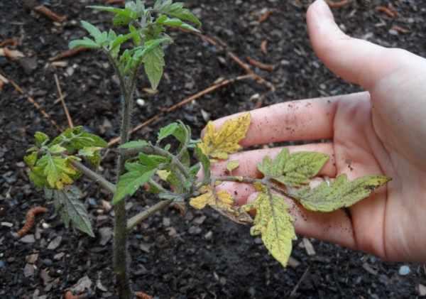 Почему желтеют листья томатов?/4512595_pochemu_zheltejut_listja_tomatov3 (600x421, 29Kb)