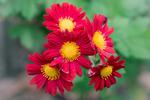 Превью chrysanthemum_iii_by_larksgar-d6tp8mn (700x466, 322Kb)