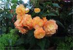 Превью orange_begonias_by_kayandjay100-dbcjpmj (700x485, 491Kb)