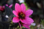 Превью pink_petals_by_mcconica-davg7q5 (700x466, 281Kb)