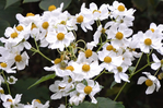Превью white_blossoms_by_earthangel2222-dbcrij4 (700x466, 333Kb)