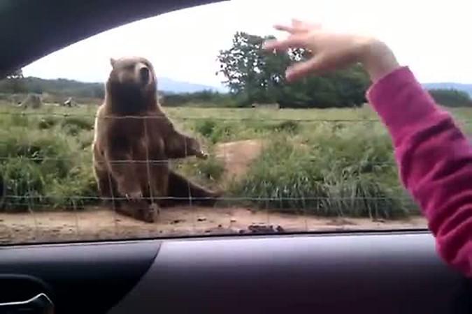 Скажи, до свидания! Медведь прощается с туристами