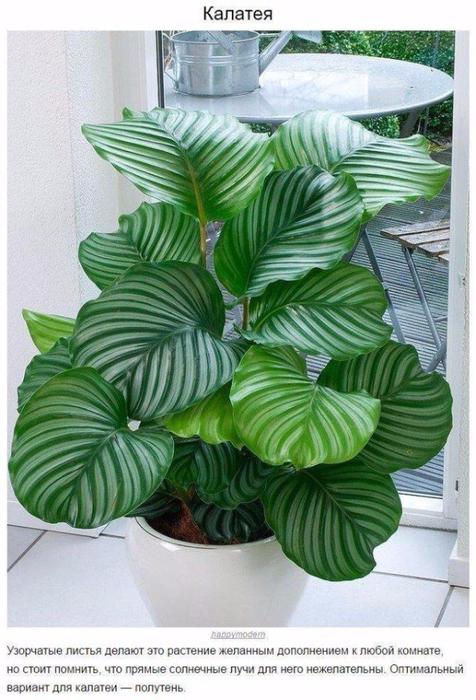 9 домашних растений для темных углов1 (476x700, 374Kb)