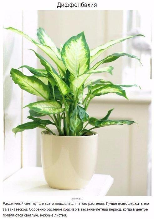 9 домашних растений для темных углов3 (492x700, 283Kb)