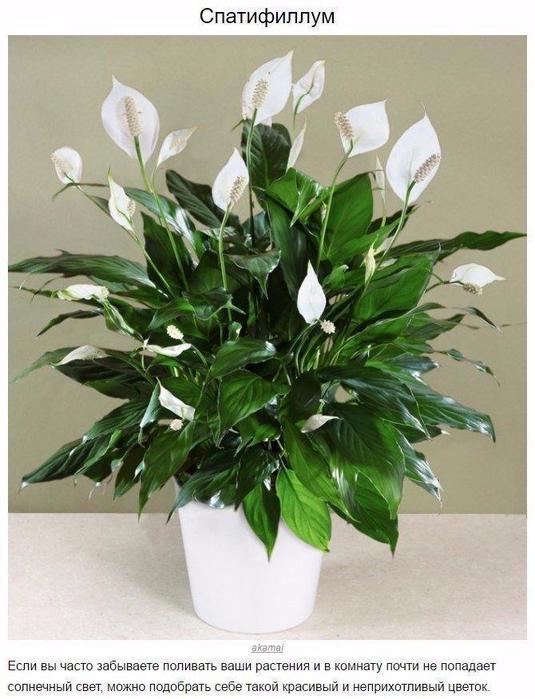 9 домашних растений для темных углов5 (535x700, 350Kb)