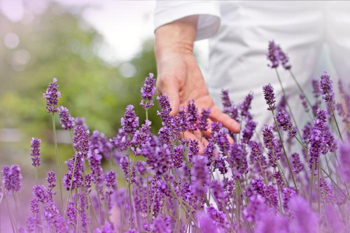 Lavender_4_0 (700x467, 259Kb)