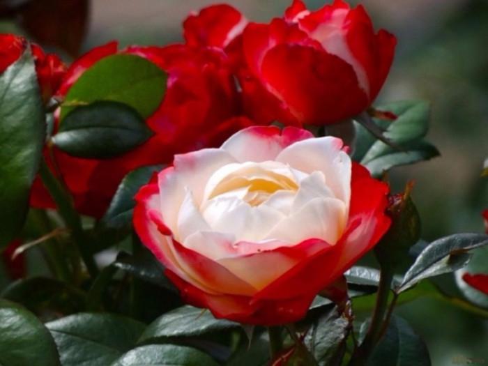 rozi-foto-06-e1418378788911 (700x525, 272Kb)