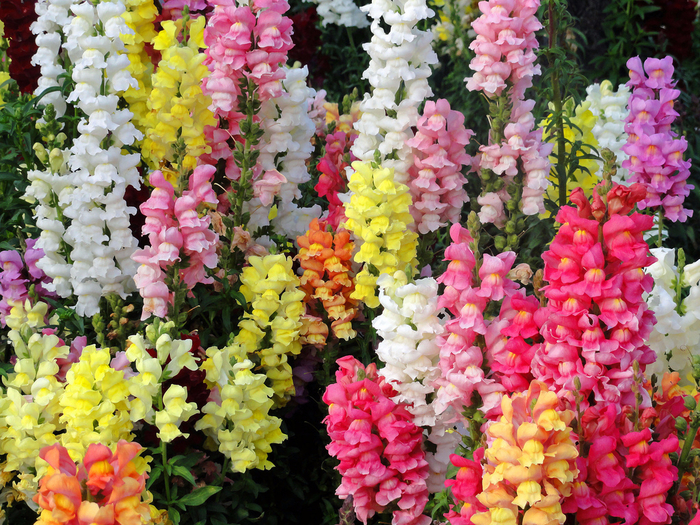 flowers-Favim.com-3218012 (700x525, 660Kb)