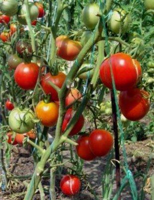 как получить хороший урожай помидор (309x400, 155Kb)