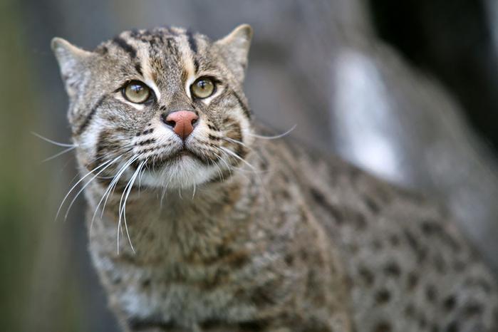 виверровая или кошка-рыболов (700x466, 239Kb)