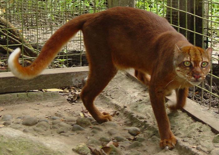 калимантанская кошка (700x494, 451Kb)
